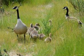 goose family enjoying the grass in a marsh